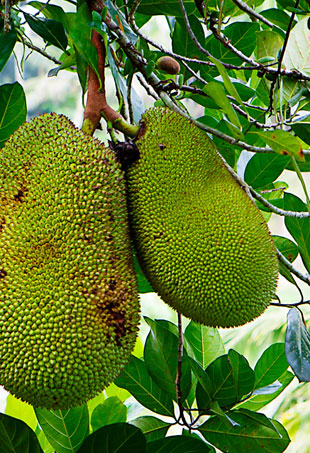 jackfruit-p